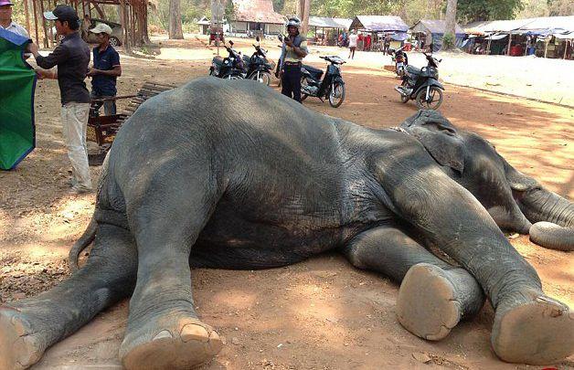 مرگ دلخراش یک فیل کامبوجی + عکس