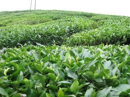 چایکاران طلبکارند/ تولید 30 هزار تنی چای خشک