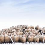 عکس روز نشنال جئوگرافیک / علاقه گله گوسفندها به دوربین عکاسی