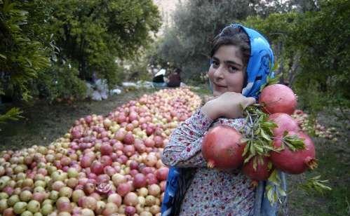 برداشت انار از روستای انبوه رودبار گیلان
