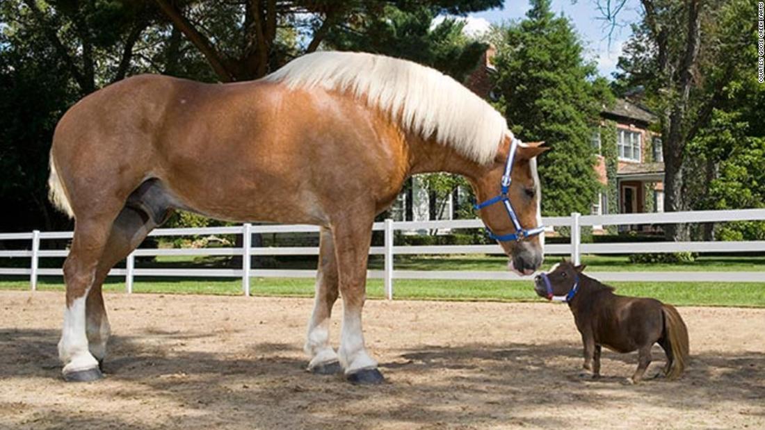 بزرگترین و کوچکترین اسب جهان