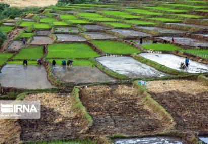 نشاء برنج در مشایخ چهارمحال و بختیاری
