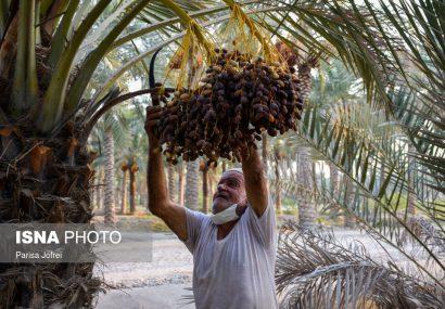 برداشت خرما از نخلستانهای شادگان و بوشهر