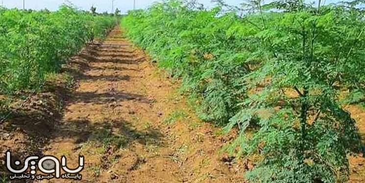 کشت گیاه دارویی مورینگا در دانشگاه پیام نور جهرم